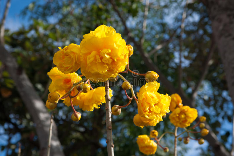 Κίτρινο λουλούδι βαμβακιού μεταξιού στοκ εικόνα
