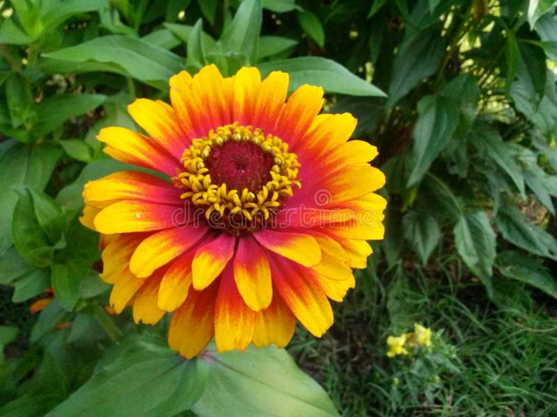 Κίτρινο λουλούδι κήπων του Τένεσι στοκ φωτογραφία με δικαίωμα ελεύθερης χρήσης