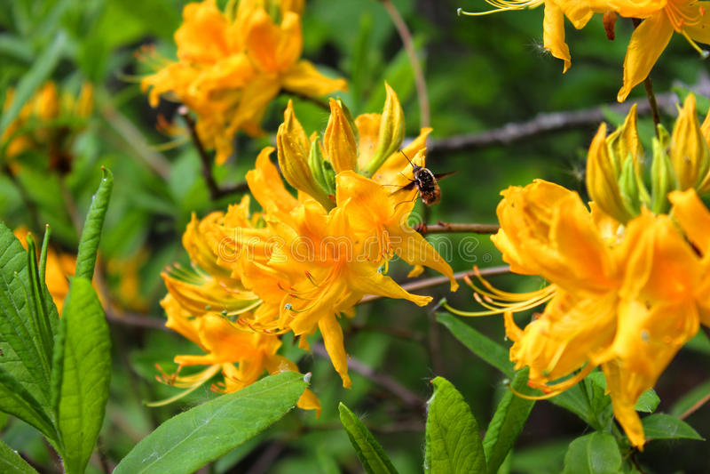 Κίτρινο λουλούδι και μια μέλισσα στοκ φωτογραφία