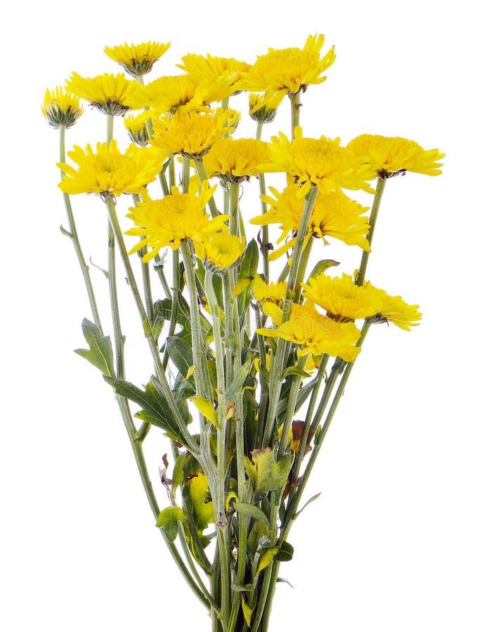 Κίτρινο λουλούδι μαργαριτών gerbera που απομονώνεται σε ένα άσπρο υπόβαθρο στοκ φωτογραφίες με δικαίωμα ελεύθερης χρήσης