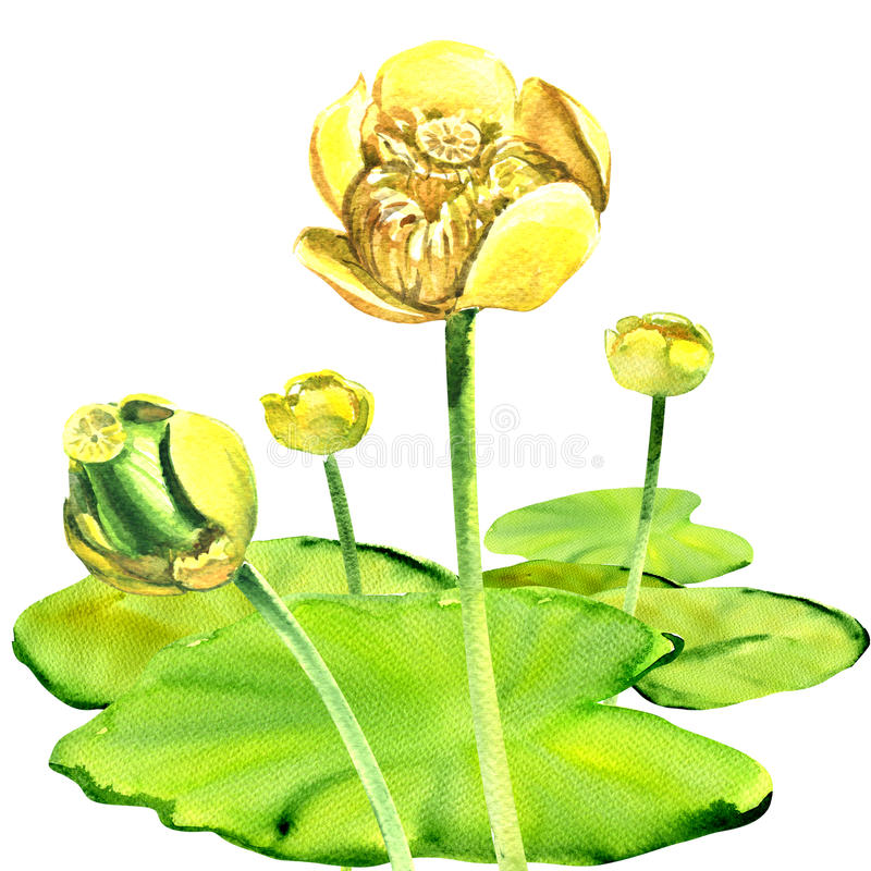 Κίτρινο λουλούδι νερό-κρίνων, lutea Nuphar, που απομονώνεται, απεικόνιση watercolor ελεύθερη απεικόνιση δικαιώματος