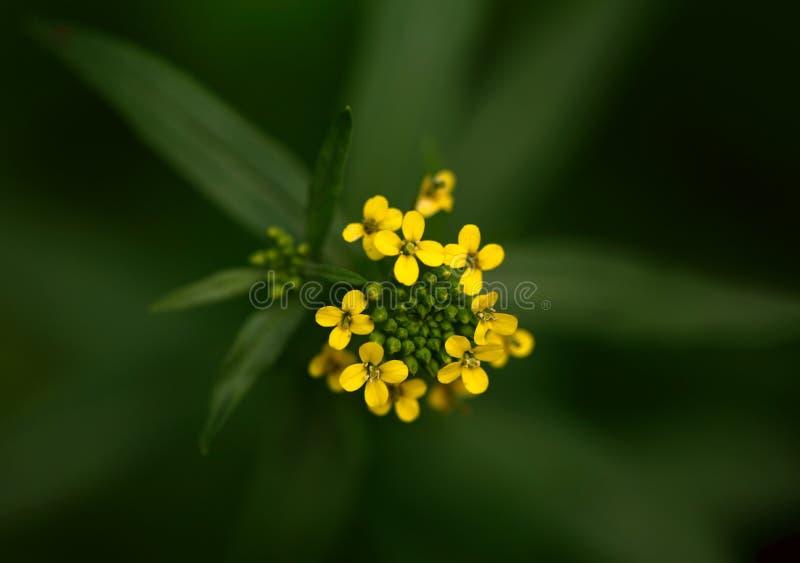 Κίτρινο λουλούδι στην άνθιση στοκ φωτογραφίες με δικαίωμα ελεύθερης χρήσης