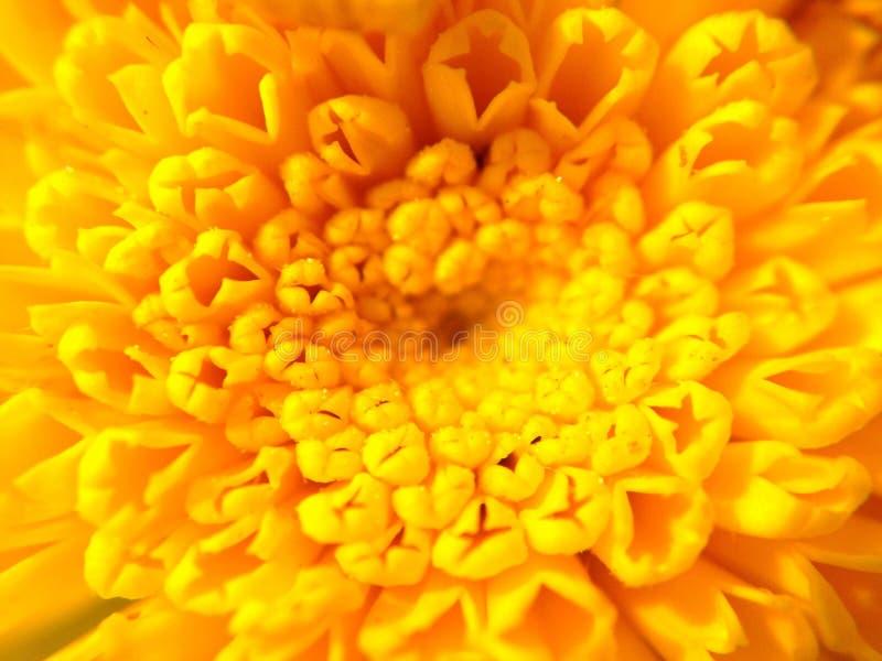 Κίτρινο λουλούδι στη μακροεντολή στοκ εικόνες με δικαίωμα ελεύθερης χρήσης