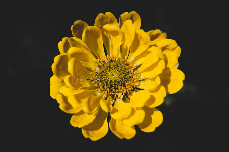 Κίτρινο λουλούδι στη μαύρη ανασκόπηση στοκ εικόνες
