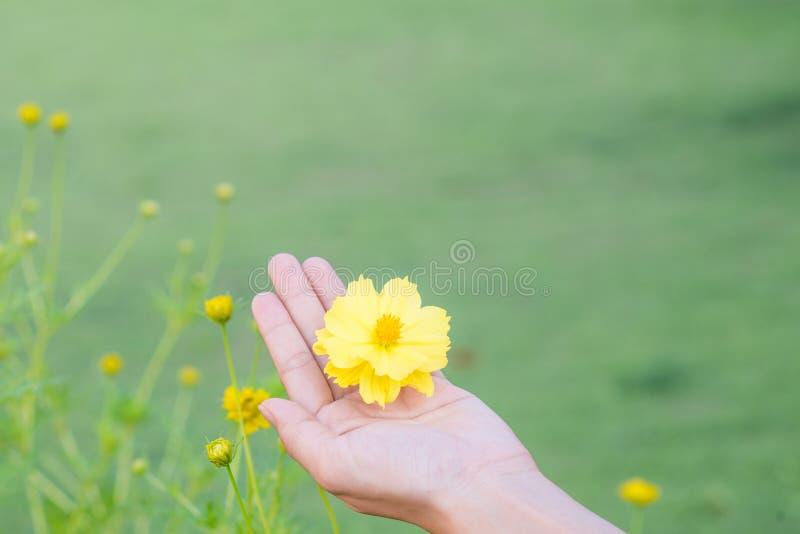 Κίτρινο λουλούδι στο χέρι νέων κοριτσιών στοκ εικόνα με δικαίωμα ελεύθερης χρήσης