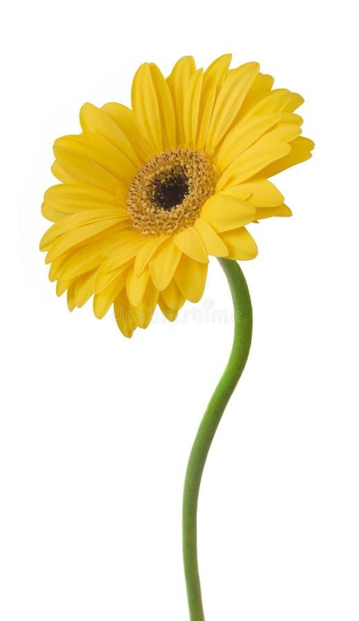 Κίτρινο λουλούδι gerbera που απομονώνεται στο άσπρο υπόβαθρο στοκ φωτογραφίες