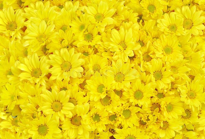 Κίτρινο λουλούδι Gerbera Daisy σε ένα άσπρο υπόβαθρο στοκ φωτογραφία με δικαίωμα ελεύθερης χρήσης