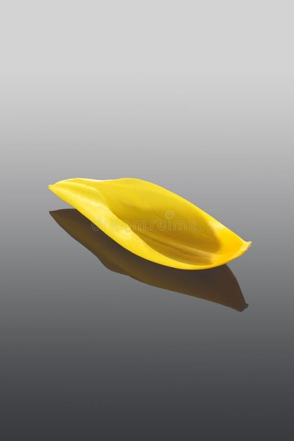 Κίτρινο πέταλο τουλιπών που απομονώνεται στο γκρίζο υπόβαθρο στοκ εικόνες με δικαίωμα ελεύθερης χρήσης