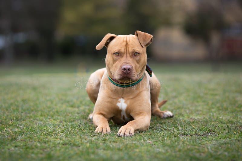 Κίτρινο σκυλί τεριέ που βρίσκεται στη χλόη στοκ εικόνα