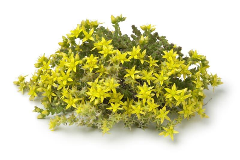 Κίτρινο στρέμμα ανθίσματος Sedum στοκ εικόνα με δικαίωμα ελεύθερης χρήσης