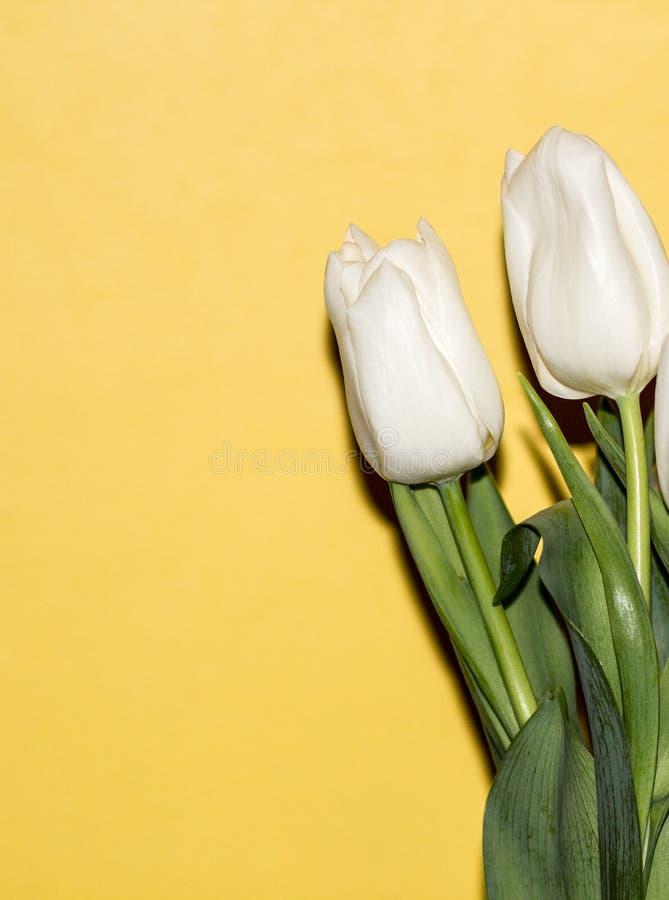 κίτρινο υπόβαθρο, άσπρες τουλίπες στοκ φωτογραφίες