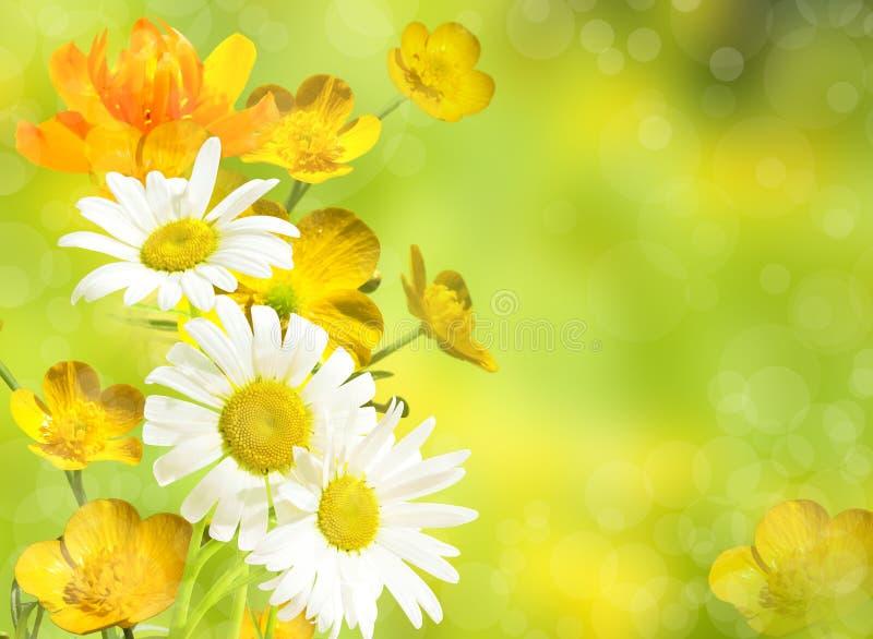 Κίτρινο υπόβαθρο λουλουδιών και πορτοκαλί λουλούδι Chamomiles και globeflower στοκ φωτογραφία