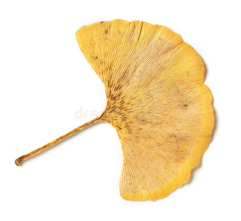 Κίτρινο φύλλο του biloba ginkgo στοκ εικόνα με δικαίωμα ελεύθερης χρήσης