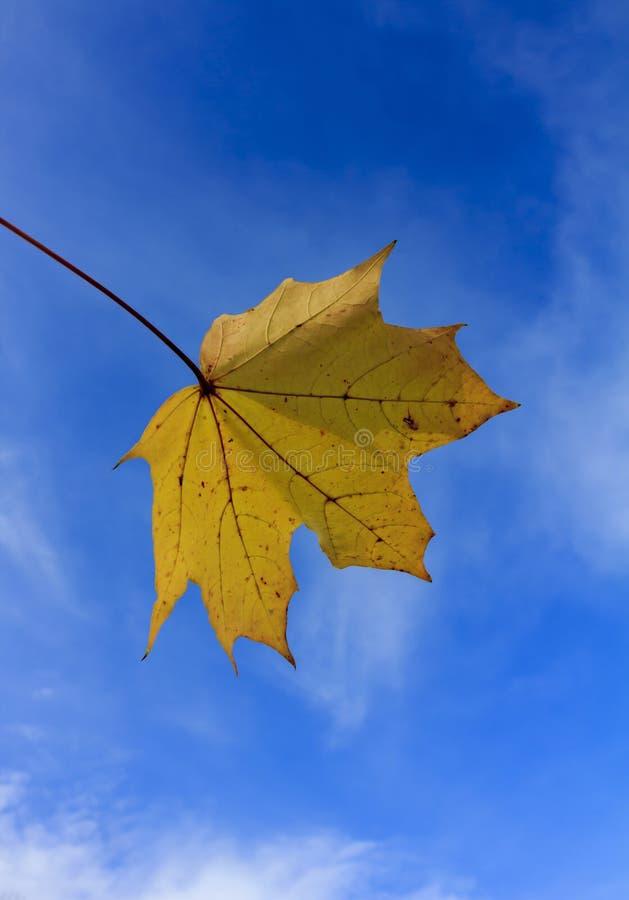 Κίτρινο φύλλο Acer στο υπόβαθρο του μπλε ουρανού στοκ φωτογραφίες