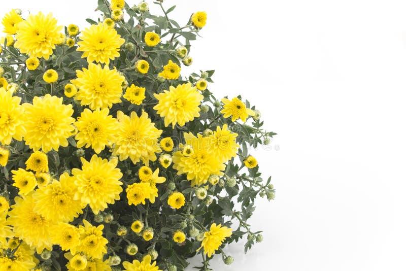 Κίτρινο χρυσάνθεμο στο άσπρο υπόβαθρο στοκ εικόνα με δικαίωμα ελεύθερης χρήσης