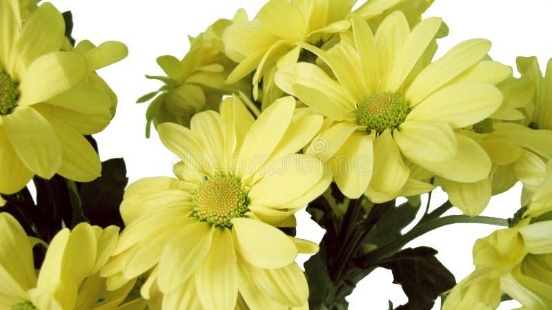 Κίτρινο χρυσάνθεμο υπόβαθρο, οφθαλμός που απομονώνεται στο άσπρο στοκ φωτογραφίες