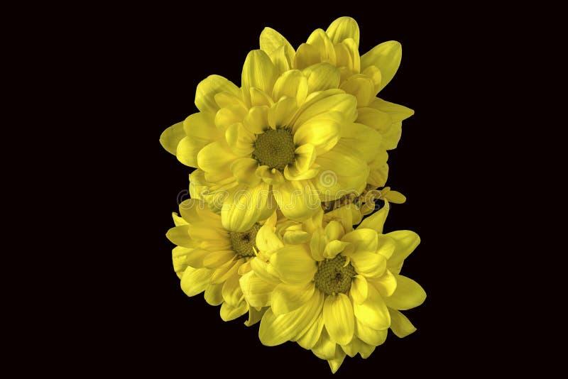 Κίτρινο χρυσάνθεμο στοκ φωτογραφία