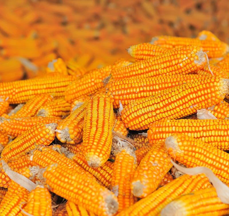 Κίτρινο ώριμο καλαμπόκι που συλλέγεται το φθινόπωρο στοκ φωτογραφία με δικαίωμα ελεύθερης χρήσης