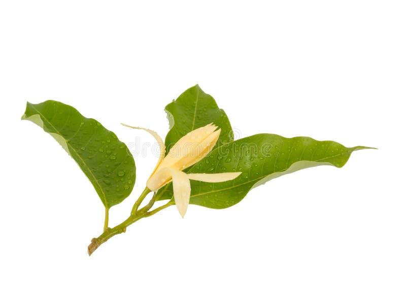 Κίτρινο alba Χ Michelia champaca Michelia, Ταϊλάνδη στοκ εικόνα με δικαίωμα ελεύθερης χρήσης