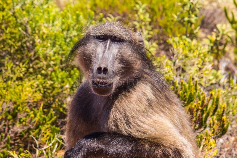 Κίτρινο baboon στοκ εικόνα με δικαίωμα ελεύθερης χρήσης