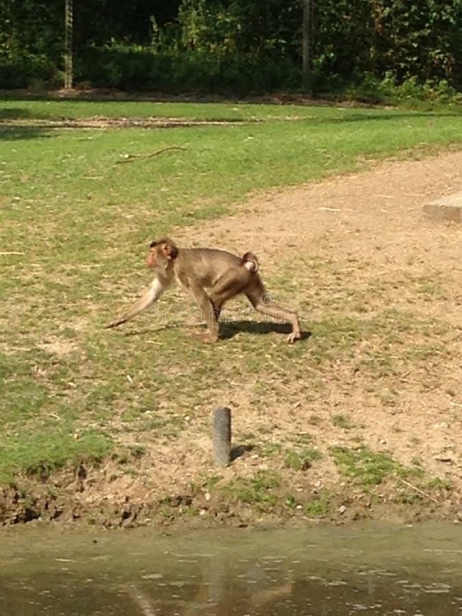 Κίτρινο baboon στοκ φωτογραφίες