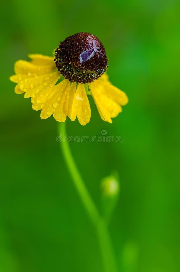 Κίτρινο Coneflower στη βροχή στοκ φωτογραφία