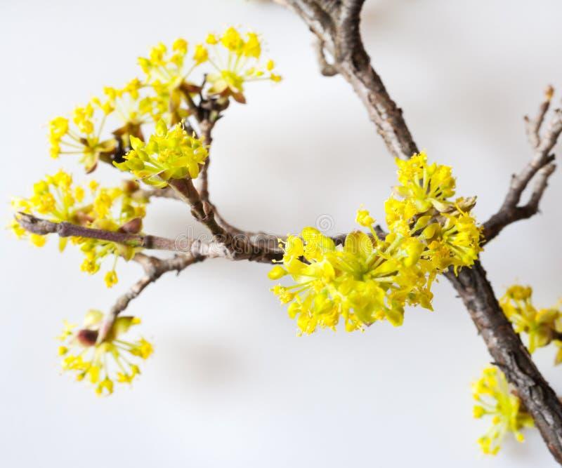Κίτρινο Cornelian κεράσι, ευρωπαϊκό cornel ή dogwood - bloomig TR στοκ εικόνες