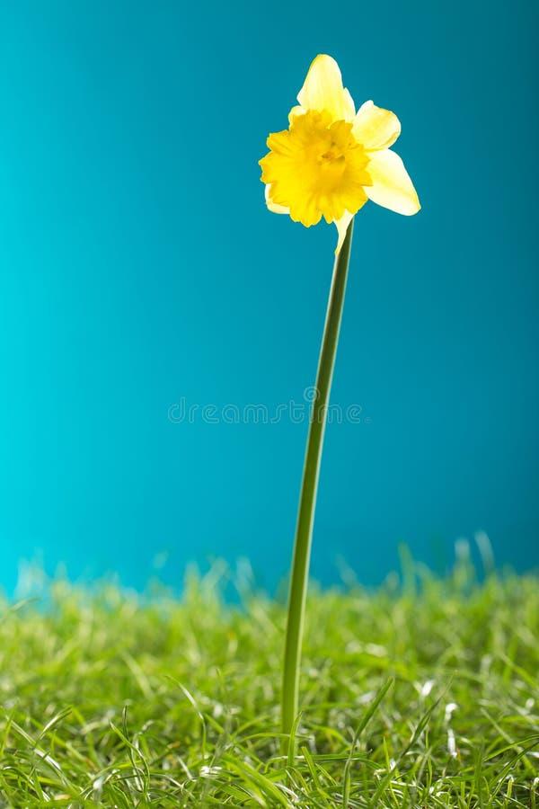 Κίτρινο daffodil και πράσινη χλόη στο μπλε υπόβαθρο στοκ εικόνα