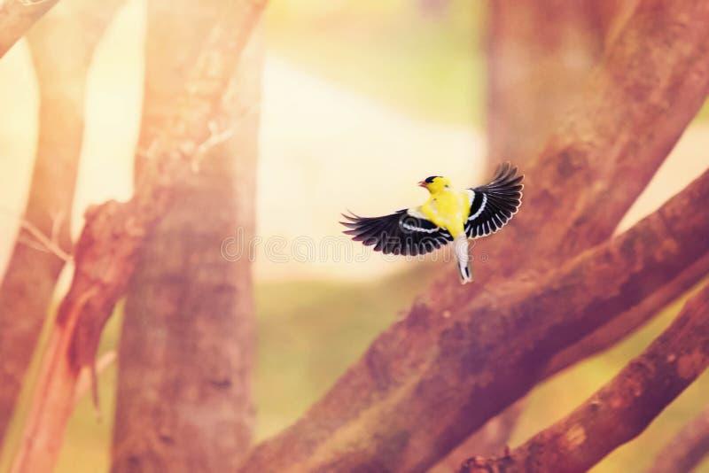 Κίτρινο finch κατά την πτήση στοκ εικόνα