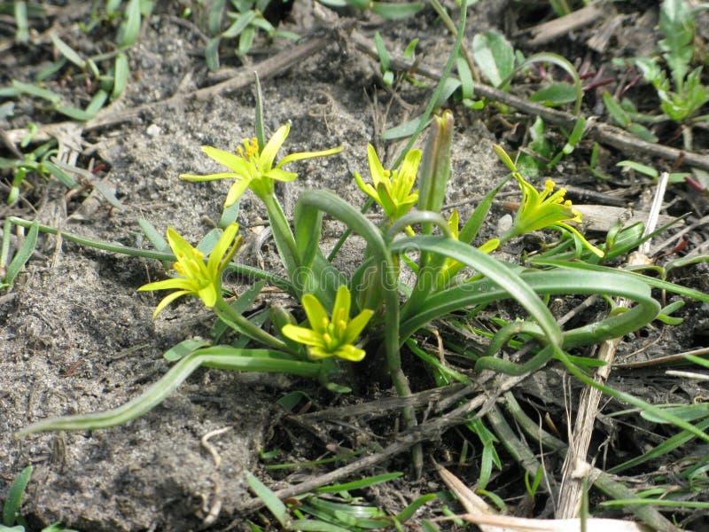 Κίτρινο gagea λουλουδιών στοκ φωτογραφίες