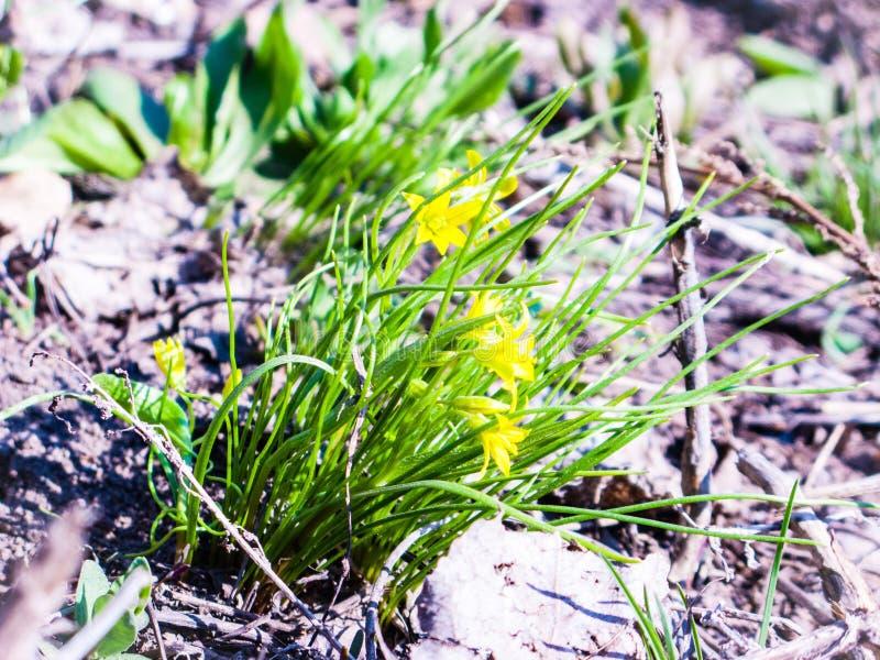 Κίτρινο gagea λουλουδιών στοκ εικόνες