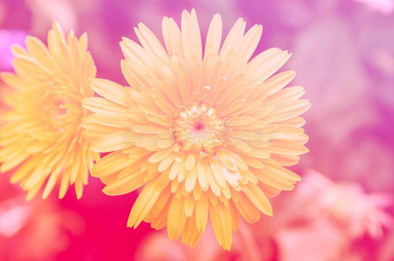 Κίτρινο gerbera με το φίλτρο χρώματος στοκ εικόνες με δικαίωμα ελεύθερης χρήσης