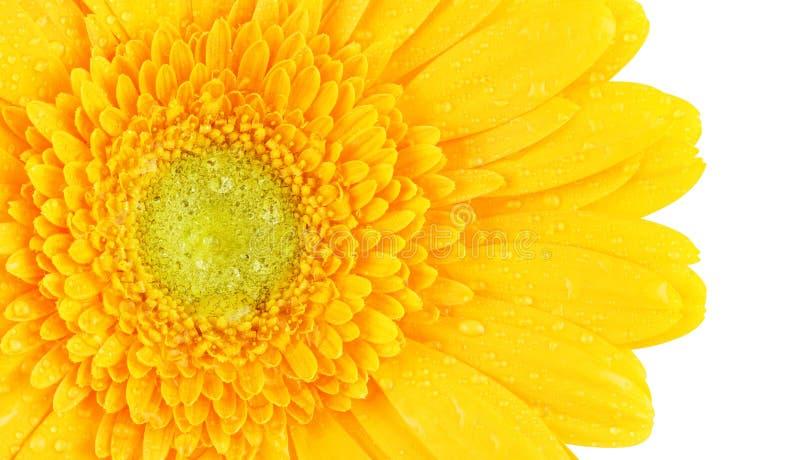 Κίτρινο gerbera στοκ φωτογραφία με δικαίωμα ελεύθερης χρήσης