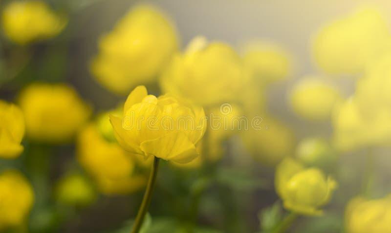 Κίτρινο globular λουλούδι του europaeus Trollius στον ήλιο στοκ φωτογραφίες