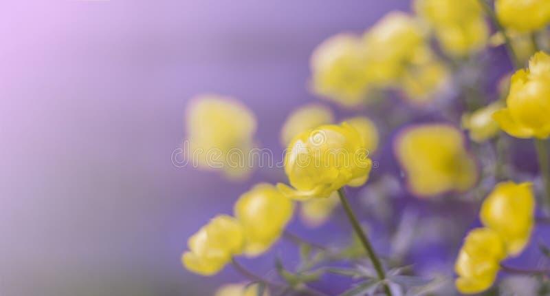 Κίτρινο globular europaeus Trollius λουλουδιών στον ήλιο ως ταπετσαρία με το διάστημα αντιγράφων στοκ φωτογραφίες με δικαίωμα ελεύθερης χρήσης