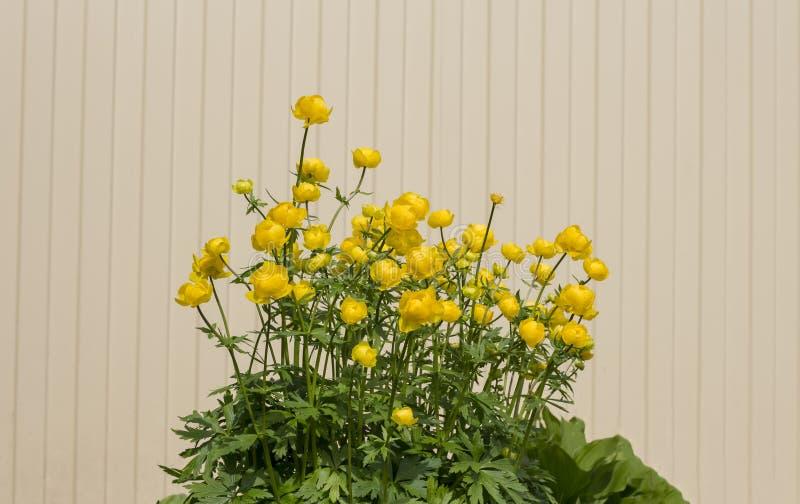 Κίτρινο globular europaeus Trollius λουλουδιών στον εγχώριο κήπο στοκ φωτογραφίες