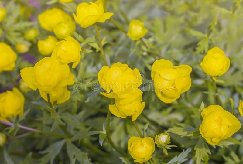 Κίτρινο globular europaeus Trollius λουλουδιών στο φυσικό περιβάλλον στοκ φωτογραφία με δικαίωμα ελεύθερης χρήσης
