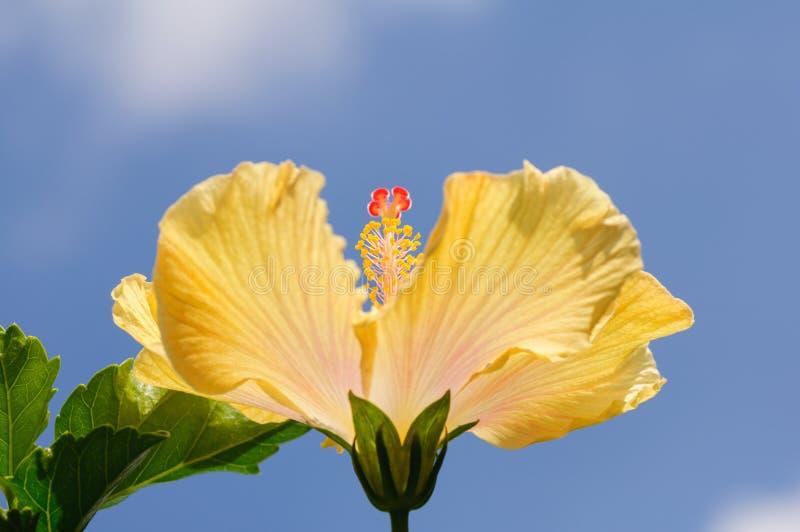 Κίτρινο hibiscus λουλούδι στο υπόβαθρο μπλε ουρανού στοκ φωτογραφία