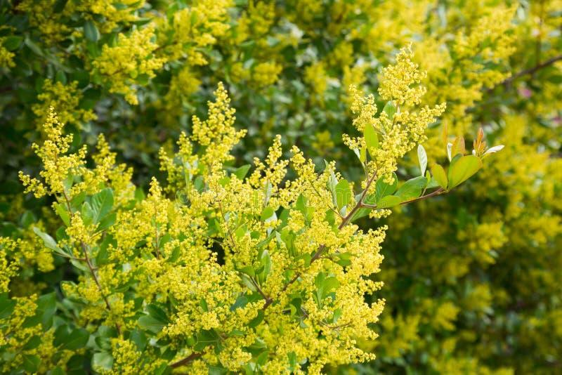 Κίτρινο howittii ακακιών στοκ εικόνα με δικαίωμα ελεύθερης χρήσης