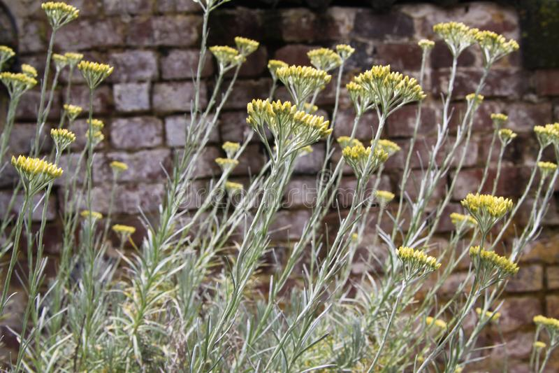 Κίτρινο italicum Helichrysum εγκαταστάσεων κάρρυ άνθισης στο γερμανικό κήπο με το παλαιό ξεπερασμένο υπόβαθρο τουβλότοιχος στοκ φωτογραφία