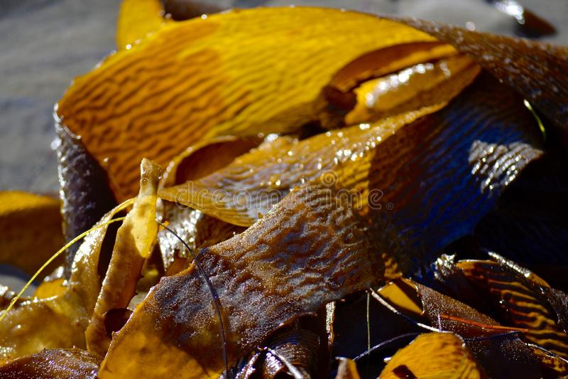 Κίτρινο Kelp φυκιών στοκ φωτογραφία