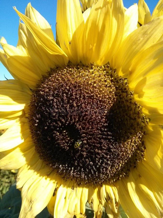 Κίτρινο Ladybug στον ηλίανθο στοκ εικόνα με δικαίωμα ελεύθερης χρήσης