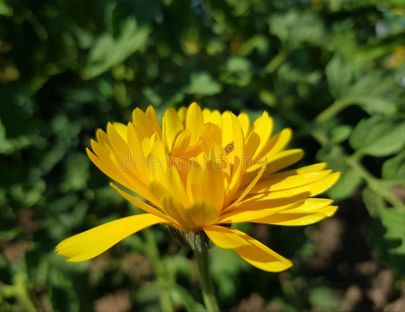 Κίτρινο marigold λουλούδι στο λιβάδι στοκ εικόνα