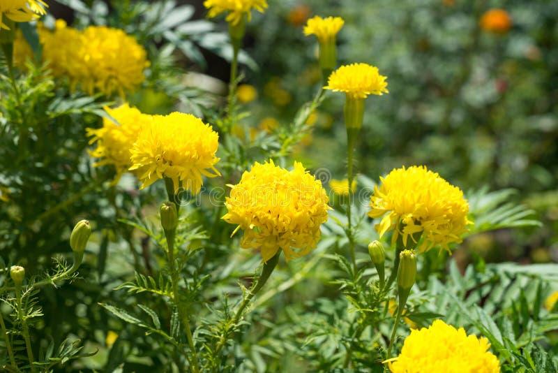 Κίτρινο marigold λουλουδιών στοκ φωτογραφία με δικαίωμα ελεύθερης χρήσης
