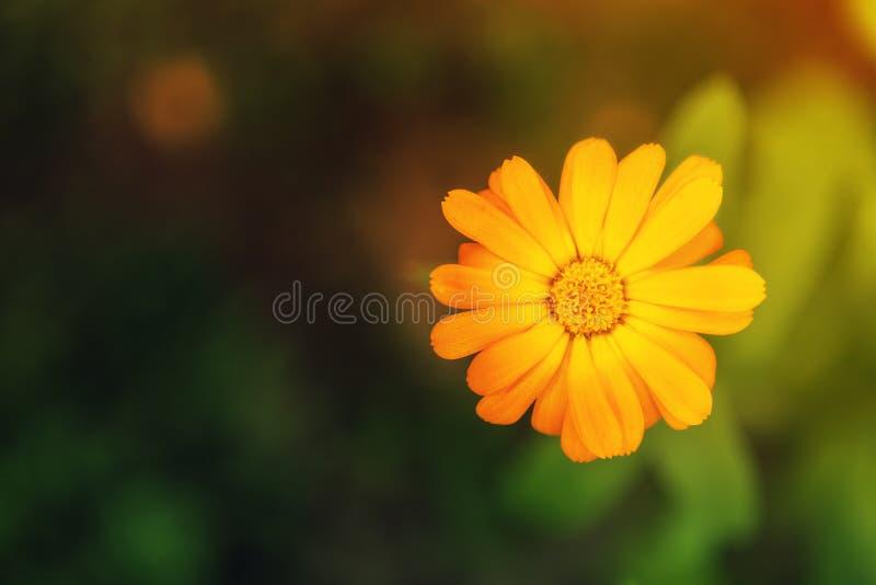 Κίτρινο marigold σε ένα κρεβάτι λουλουδιών επάνω από την όψη στοκ εικόνες με δικαίωμα ελεύθερης χρήσης