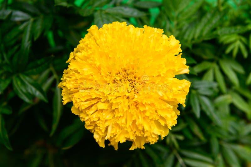 Κίτρινο marigolds λουλούδι στον κήπο στοκ εικόνες με δικαίωμα ελεύθερης χρήσης