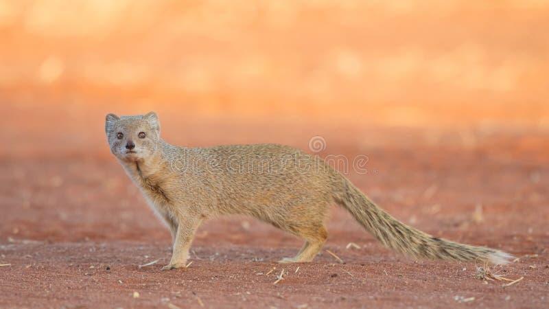 Κίτρινο mongoose στο ηλιοβασίλεμα, έρημος της Καλαχάρης, Ναμίμπια στοκ φωτογραφία