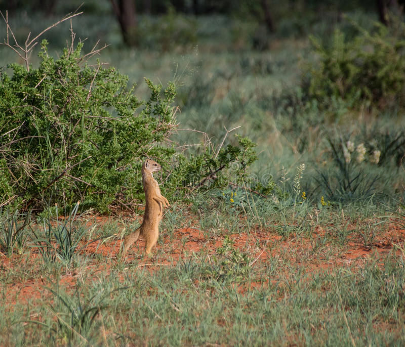 Κίτρινο mongoose στοκ εικόνες με δικαίωμα ελεύθερης χρήσης