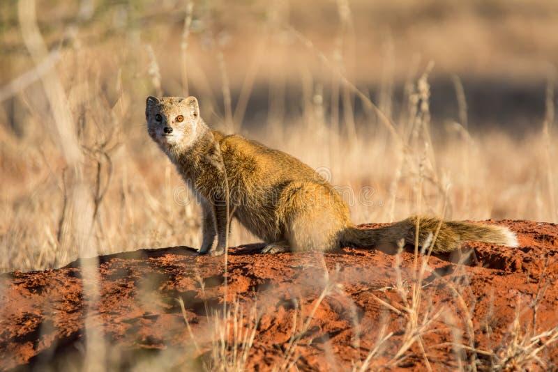 Κίτρινο mongoose στοκ φωτογραφίες με δικαίωμα ελεύθερης χρήσης