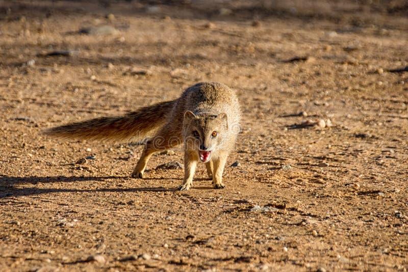 Κίτρινο mongoose στοκ φωτογραφίες